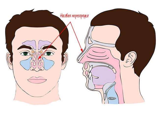 внутреннее строение носа